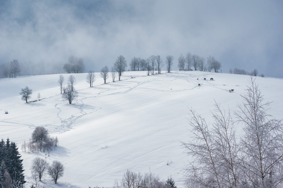 A wide shot of a snowed broad hill top with a few leaveless trees and six horses and a misty background