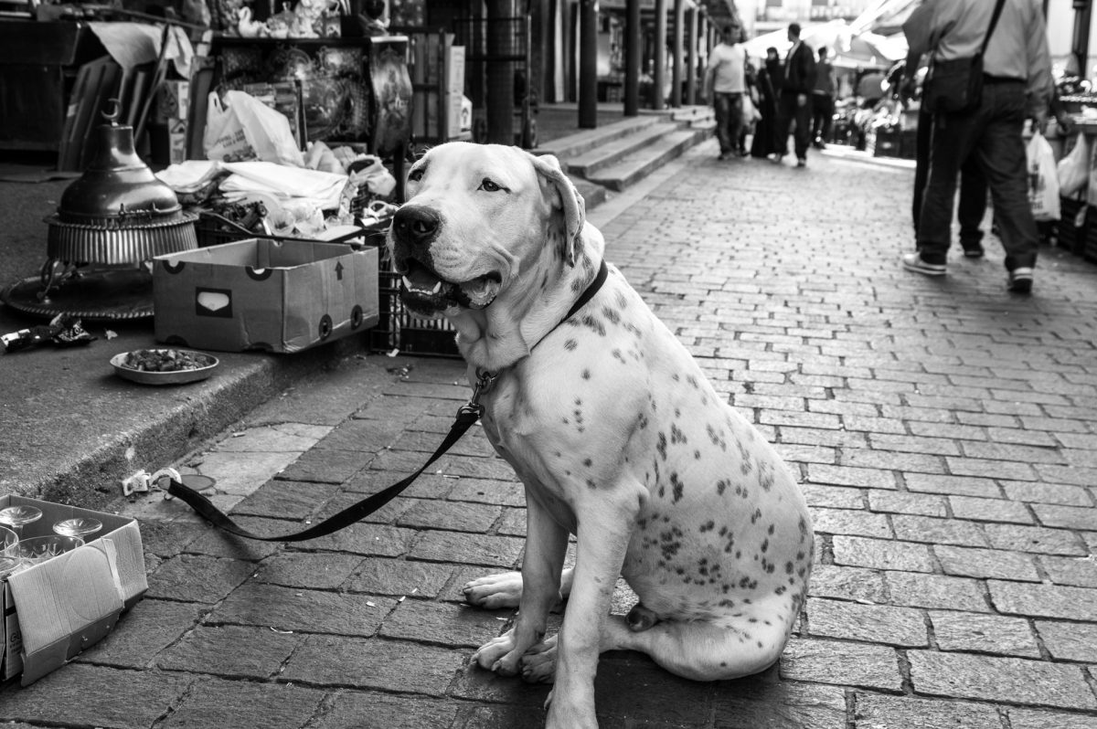 A dalmatian dog sitting outside an antique shop in Athens