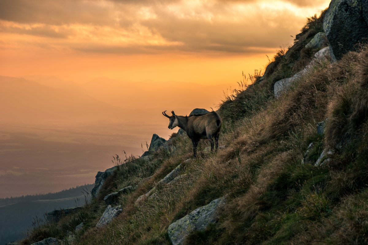 A tatra chamois grazing on the slope at High Tatras