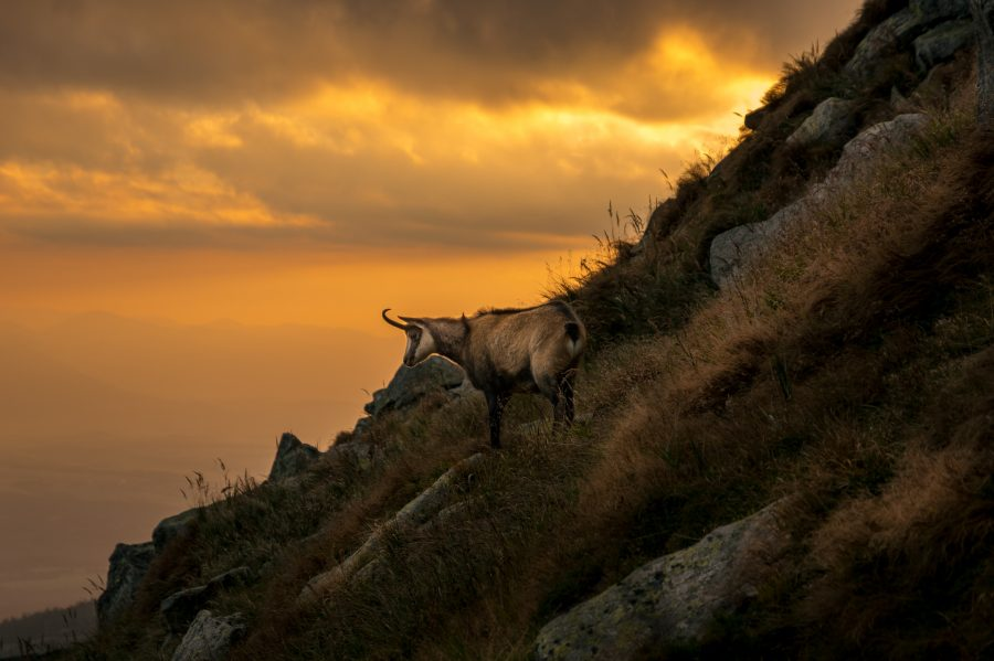 A Tatra chamois overlooking the valley of Poprad from a slope during sunset